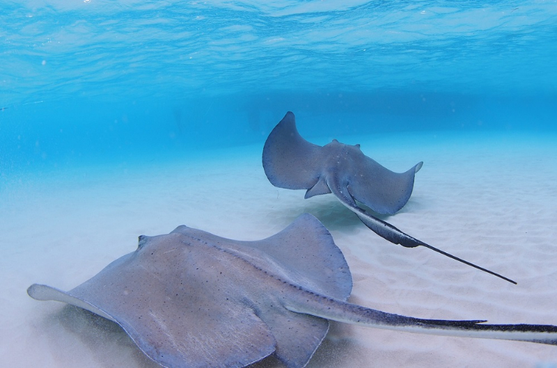 Sting Ray City, Grand Cayman